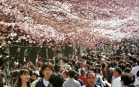 Tokyo Ueno Park with cherry blossoms in bloom